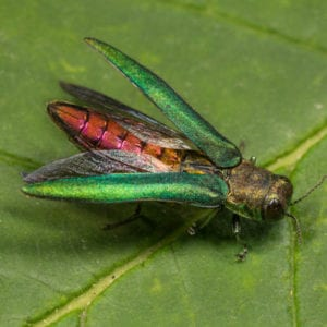 The emerald ash borer is one of the most destructive tree pests in Lancaster, PA and should be a target in your tree care strategy.