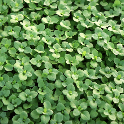Keep chickweed and other invasive weeds out of your Pennsylvania lawn with spring lawn care services from Showcase Lawn Works.