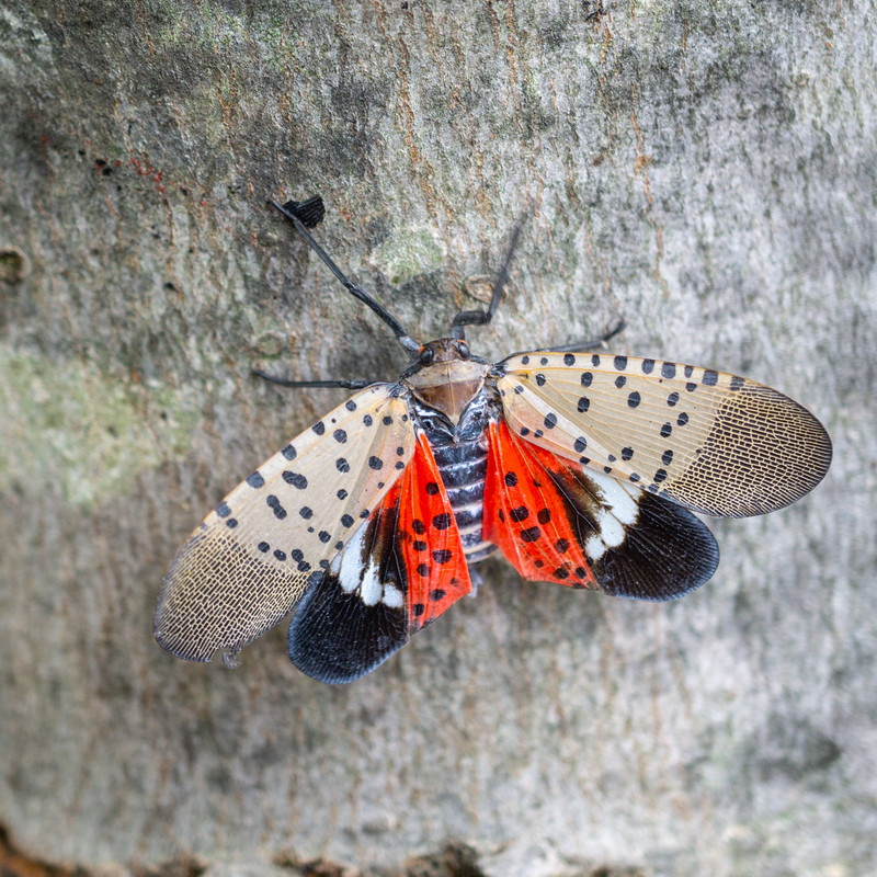 Beware The Spotted Lanternfly